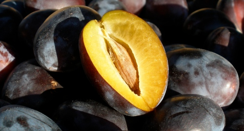 The humble Italian Prune Plum has been on Whidbey Island since the time of the first generation of settlers.  I love them for baking and preserving and they are happening right now.